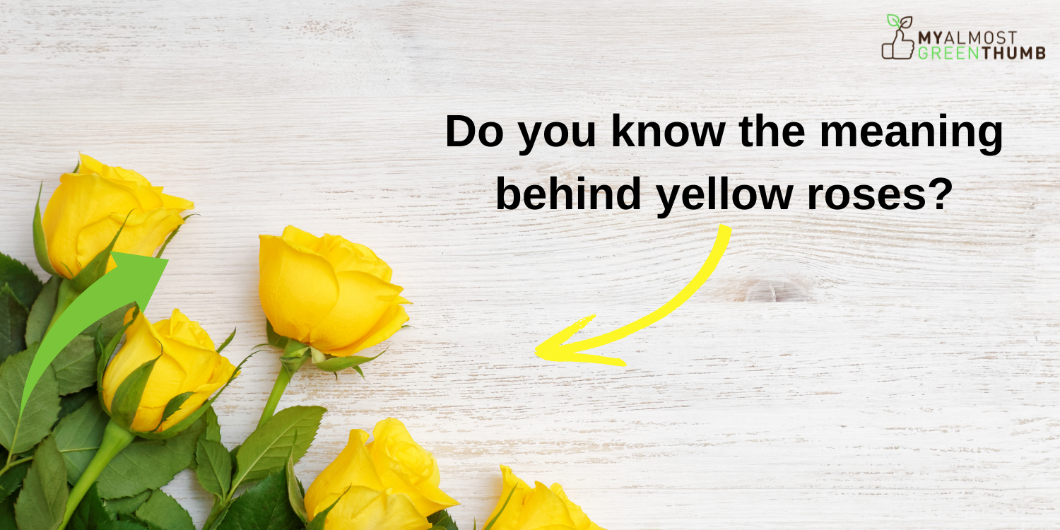 Do you know the meaning behind yellow roses?